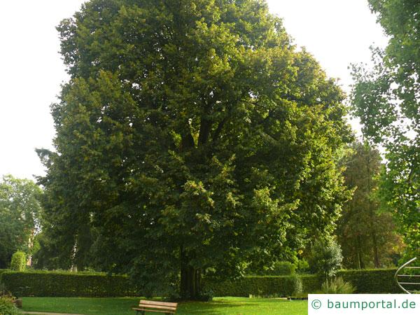 Sommer-Linde (Tilia platyphyllos) Baum