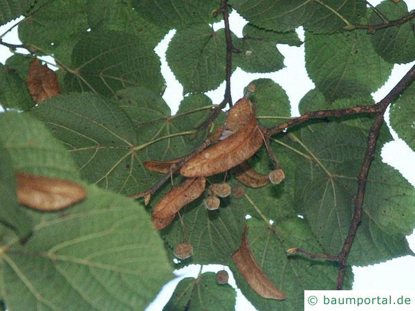 Sommer-Linde (Tilia platyphyllos) Früchte im Herbst