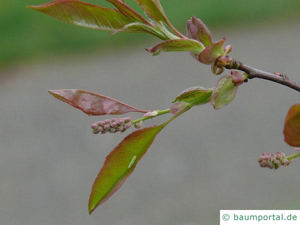spähtblühende Trauben-Kirsche (Prunus serotina) Austrieb im Frühjahr
