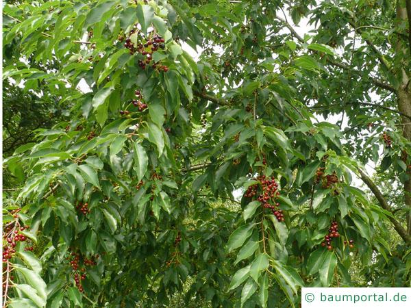 spähtblühende Trauben-Kirsche (Prunus serotina) Früchte / Kirschen
