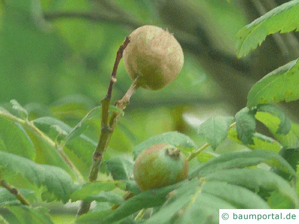 Speierling (Sorbus domestica) Frucht