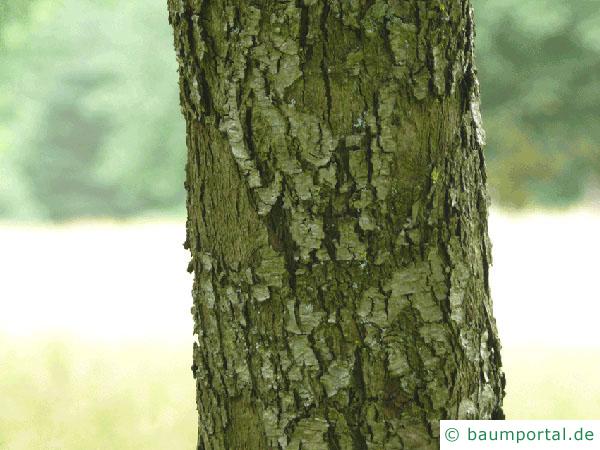 Speierling (Sorbus domestica) Stamm / Borke / Rinde
