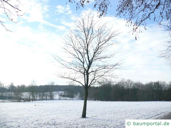 Spitz-Ahorn (Acer platanoides) Baum im Winter