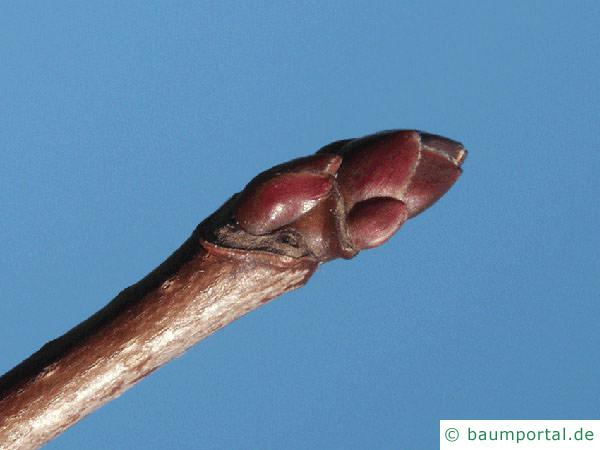 Spitz-Ahorn (Acer platanoides) Endknospe