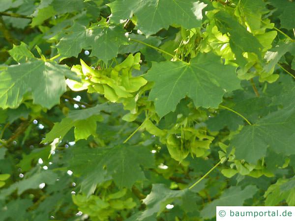 Spitz-Ahorn (Acer platanoides) Früchte