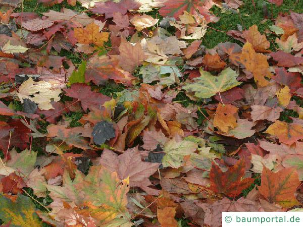 Spitz-Ahorn (Acer platanoides) Herbstfärbung ist vielfältig