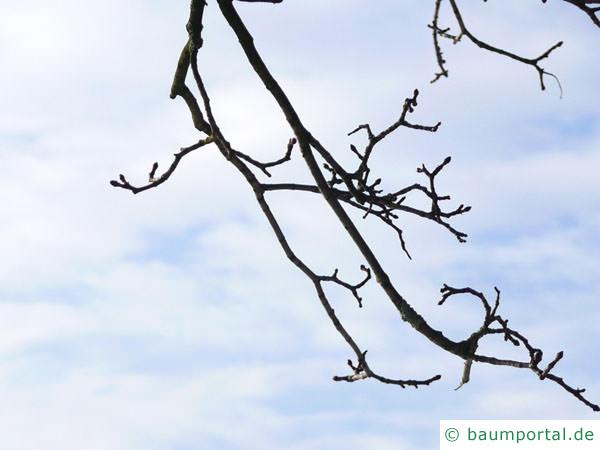 Spitz-Ahorn (Acer platanoides) Seitenknospen