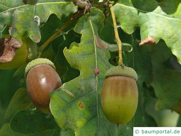 Stiel-Eiche (Quercus robur) Frucht / Eichel an langen Stielen