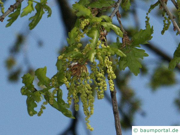 Stiel-Eiche (Quercus robur) Blüte