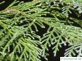 Blaue Scheinzypresse (Chamaecyparis lawsoniana 'Glauca') Zweigspitze