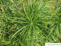 Schirmtanne (Sciadopitys verticillata) Nadeln