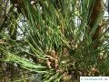 Schwarz-Kiefer (Pinus nigra) Zapfen männlich