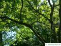 Zimt-Ahorn (Acer griseum) Baumkrone im Sommer