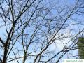 Zimt-Ahorn (Acer griseum) Baumkrone im Winter