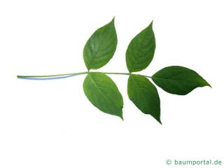 amerikanische Pimpernuss (Staphylea trifolia) Blatt