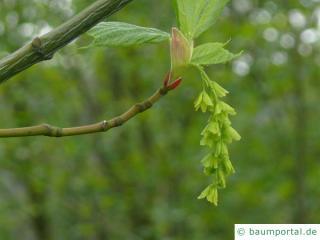 amerikanischer Schlangenhaut-Ahorn (Acer pensylvanicum) Einzelblüte