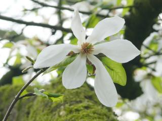 Baum-Magnolie (Magnolia kobus) Blüte