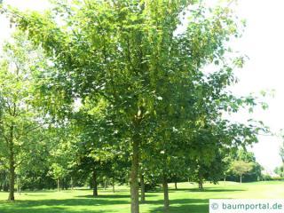 Berg-Ahorn (Acer pseudoplatanus) junger Baum