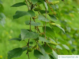 Blau-Birke (Betula caerulea) Blüte