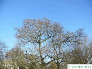 Blauglockenbaum (Paulownia tomentosa) Baum