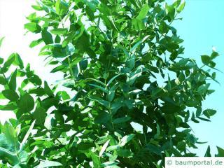Blaugummibaum (Eucalyptus globulus) Krone