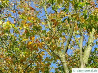 Cissusblättriger Ahorn (Acer cissusfolium) Herbstlaub