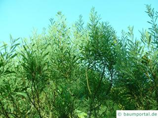 Dietrich Akazie (Acacia dietrichiana) Wuchs