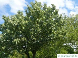 echte Mehlbeere (Sorbus aria) Baum im Sommer