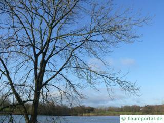 Esche (Fraxinus excelsior) Krone