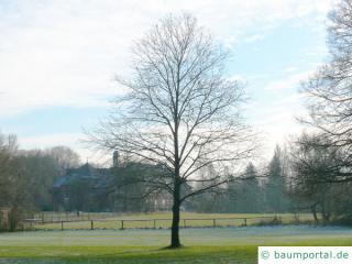 Esskastanie (Castanea sativa) Baum