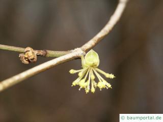 Feld-Ahorn (Acer campestre) Blüte