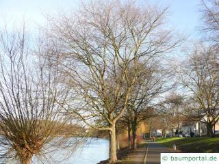 Flatter-Ulme (Ulmus laevis) Baum im Winter