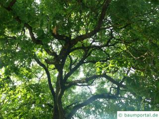Gelbholz (Cladrastis kentukea) Baum im Sommer