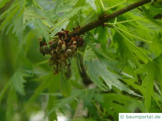 geschlitzter Spitz-Ahorn (Acer saccharinum 'Wieri') Blüte