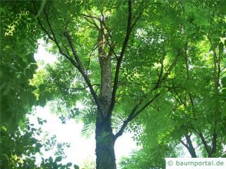 Geweihbaum (Gymnocladus dioicus) Krone im Sommer