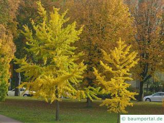 Ginkgo (Ginkgo biloba) Baum im Herbst