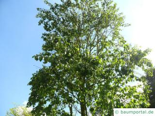 Gold-Birke (Betula ermanii) Baumkrone im Sommer