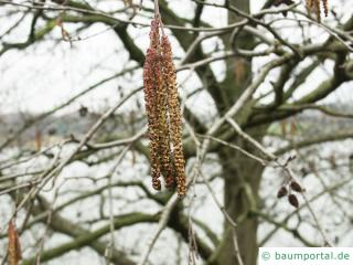 Grau-Erle (Alnus incana) Blüten der  (Alnus incana)