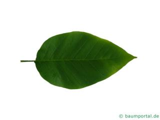 Gurken-Magnolie (Magnolia acuminata) Blatt