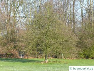 Hahnendorn (Crataegus crus-galli) Baum im Winter