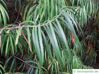 Henkels Gelbholz (Podocarpus henkelii) Blätter