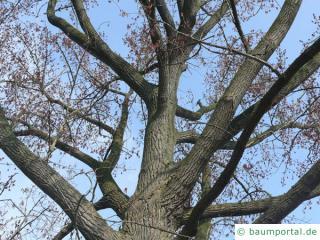 kanadische Pappel (Populus canadensis) Krone im Winter