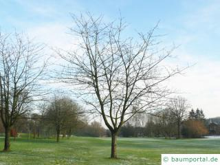 Kirsche (Prunus avium) Baum