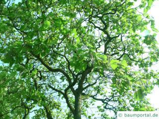 kleinblütiger Trompetenbaum (Catalpa ovata) Baum im Sommer