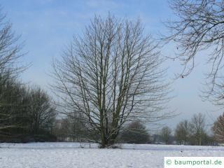 Kuchenbaum (Cercidiphyllum japonicum) Baum im Winter