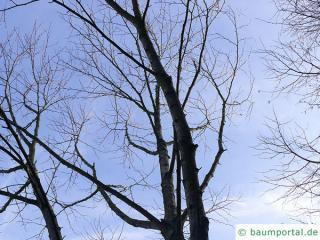 lindenblättrige Birke (Betula maximowicziana) Krone im Winter