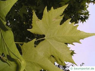orientalische Platane (Platanus orientalis) Blätter