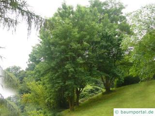 Osagedorn (Maclura pomifera) Baum