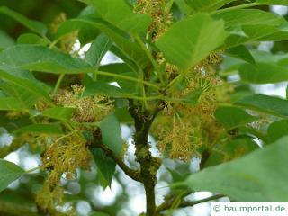 Osagedorn (Maclura pomifera) Blüte
