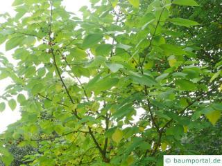 Papier-Maulbeere (Broussonetia papyrifera) Krone im Sommer